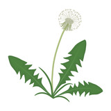 Dandelion with leaves on a white background. Vector illustration