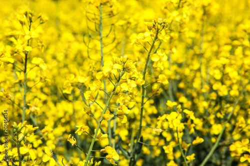 Fototapeta Closeup of a flower in a blooming rapeseed field in the French countryside during spring