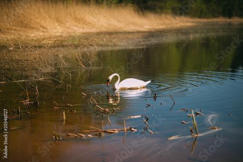 Plexiglas Zwaan alone white swan in the dirty lake