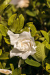 White gardenia blooms in a garden