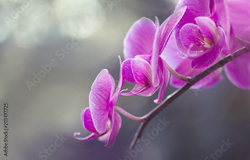 Fototapeta Blumen - Pink Rosa Orchideen (Orchidaceae)