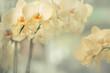 Blumen - Gelbe Orchideen (Orchidaceae)