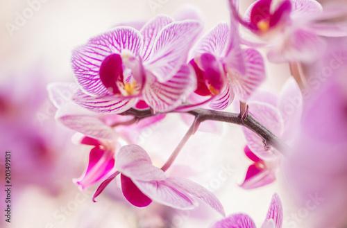 Blumen - Pink Rosa Orchideen (Orchidaceae) - 203499131