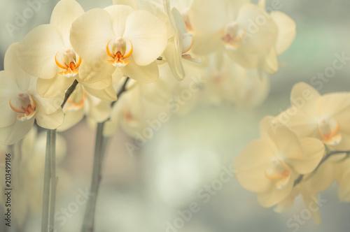 Fototapeta Blumen - Gelbe Orchideen (Orchidaceae)