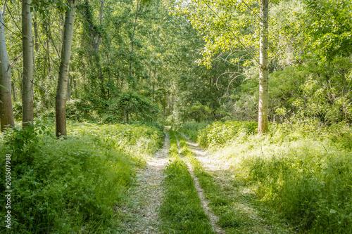 Fotobehang Berkenbos dirt road in a young poplar forest