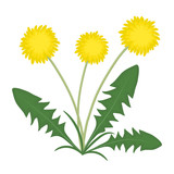Yellow dandelions with green leaves on a white background. Vector illustration