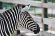 portrait of a zebra closeup
