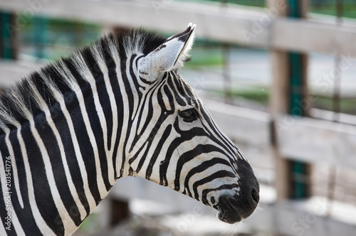 portrait of a zebra closeup