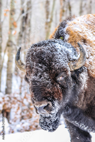 Plexiglas Bison Bison with snow on the face close up, Elk Island National Park, Alberta, Canada