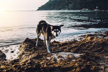 Husky Mix am Strand