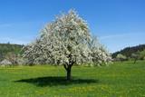 Großer blühender Apfelbaum in einer Wiese mit Löwenzahn