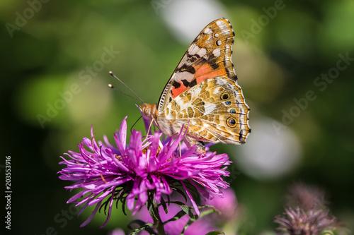 Plexiglas Vlinder papillon