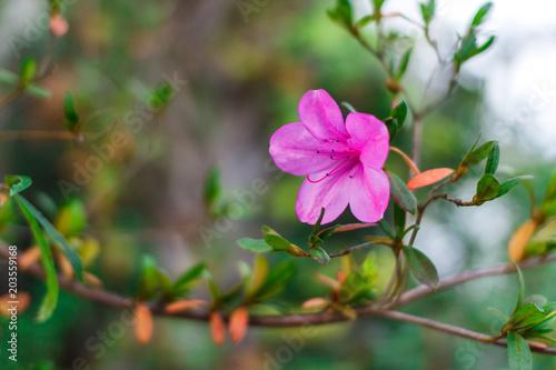 Fotobehang Azalea A gentle pink flower. Azalea. Charleston. The garden of South Carolina. Plantation and magnolia gardens
