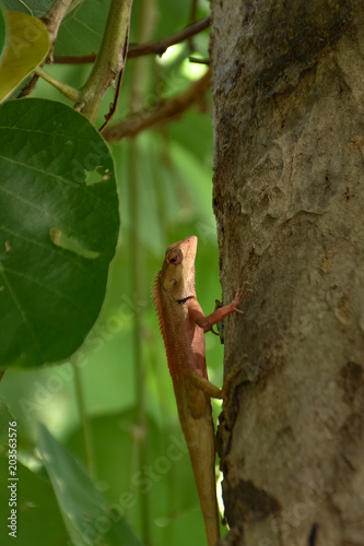 Plexiglas Kameleon Lizard on a tree.