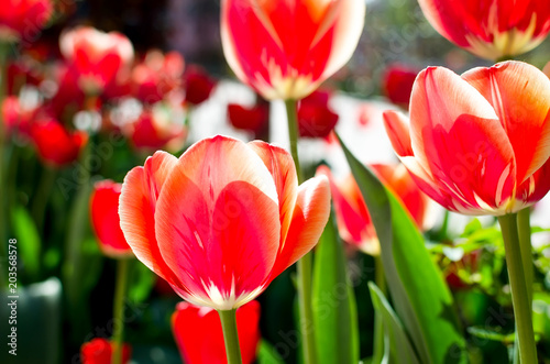 Plexiglas Tulpen Red tulips on a soft floral background