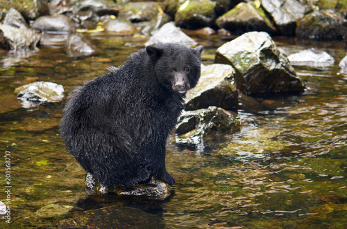 Black Bear Fishing in River, British Columbia, Canada