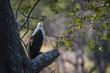 African fish eagle in Kruger National park, South Africa