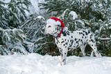 Dalmatian with Santa Hat