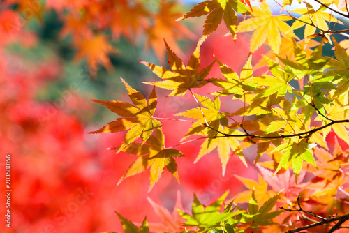 the beautiful autumn color of Japan yellow, green and red maple leaves with colorful blured bokeh background in autumn season, Japan - 203580156