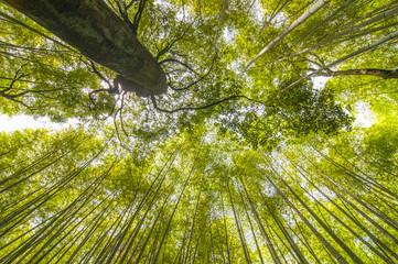 Bamboo forest with sky at Arashiyama, Kyoto, Japan.