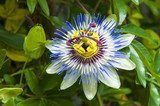 Passiflora caerulea, the blue passionflower, bluecrown passionflower or common passion flower. Flower is surmounted by a corona of violet and blue filaments.