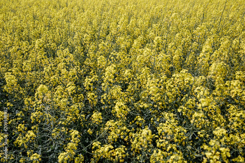Plexiglas Honing yellow Rapeseed field background. Field of bright yellow rapesee