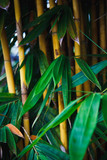 Bamboo with green leaves and a yellow trunk grows in the park close up. Natural south eastern asia background