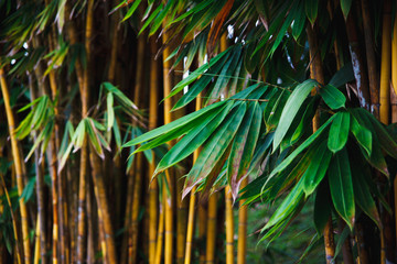Bamboo with green leaves and a yellow trunk grows in the park. Natural south eastern asia background