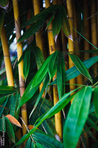 Plexiglas Bamboe Bamboo with green leaves and a yellow trunk grows in the park close up. Natural south eastern asia background