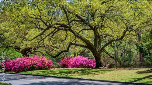 Canvas Azalea Azalea Garden in Spring - South Carolina with Live Oaks