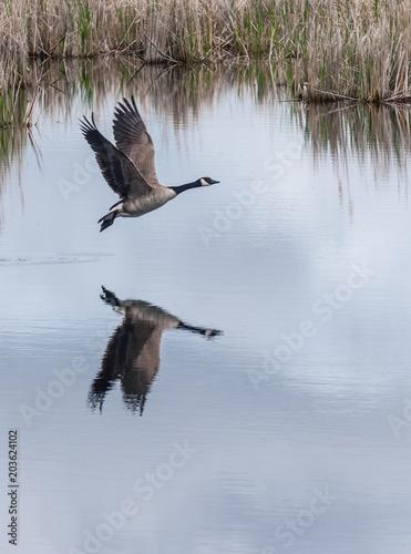 Plexiglas Canada Canada Goose