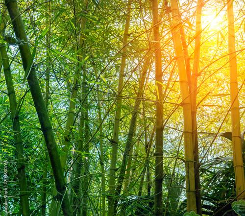 Plexiglas Bamboe Bamboo forest in morning sunrays