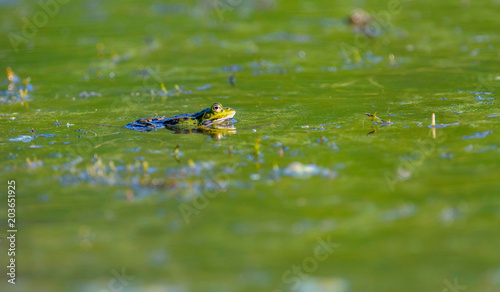 Plexiglas Kikker Pool frog (Pelophylax lessonae) in green colored water. Side view.