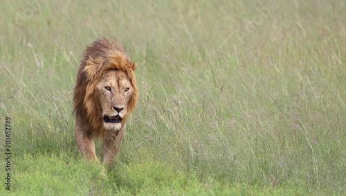 Fotobehang Lion Simba _ Lion Close Up !