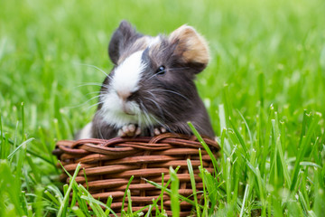 Little guinea pig in the grass