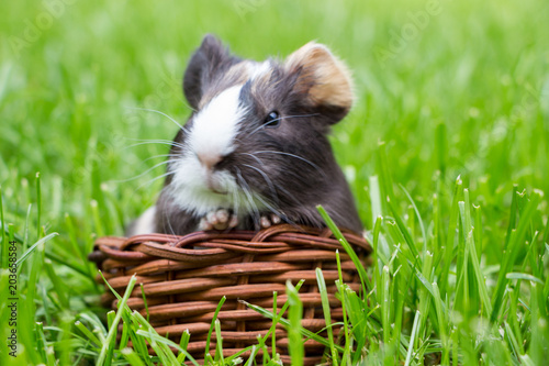 Fototapeta Little guinea pig in the grass