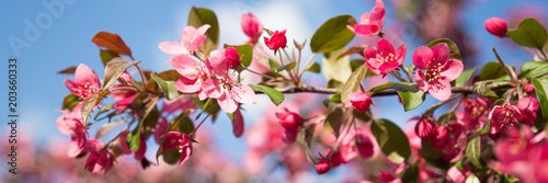 Plexiglas Kersen Web banner with pink flower cherry blossom against a blue sky during springtime