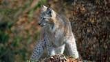 Eurasischer Luchs 5 (Lynx Lynx)