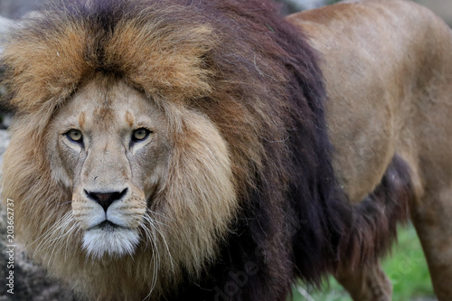 Fotobehang Lion Löwe