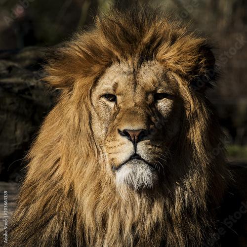 Fotobehang Lion lion's head in the sun