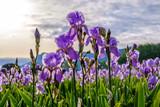 Iris pallida sur le champ, gros plan. Provence, France. Lever de soleil.