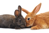Two little rabbits.