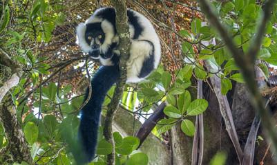 Critically endangered black-and-white ruffed lemur (Varecia variegata), Ranomafana (hot water in Malagasy) National Park, Madagascar