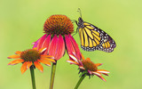 Newly emerged Monarch butterfly (Danaus plexippus) on red coneflowers in Texas. Natural green background.