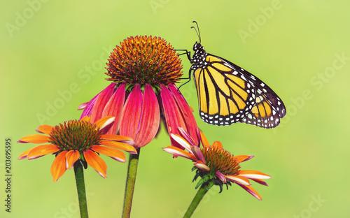 Plexiglas Vlinder Newly emerged Monarch butterfly (Danaus plexippus) on red coneflowers in Texas. Natural green background.