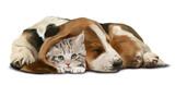 Grey kitten and a sleeping Dachshund - 203702354