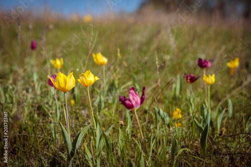 Plexiglas Tulpen flowering field tulips. glade with flowers. spring day