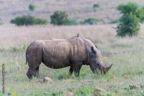 Fotobehang Neushoorn Rhino grazing in the savannah