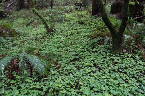 Plexiglas Olijf Muir Woods Forest