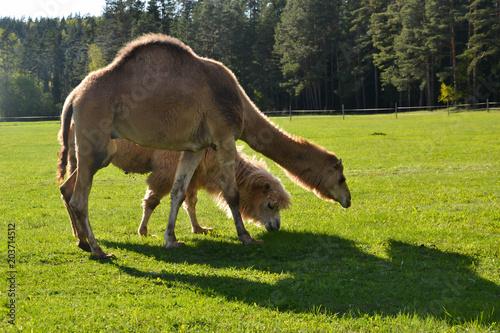 Aluminium Kameel Running camels